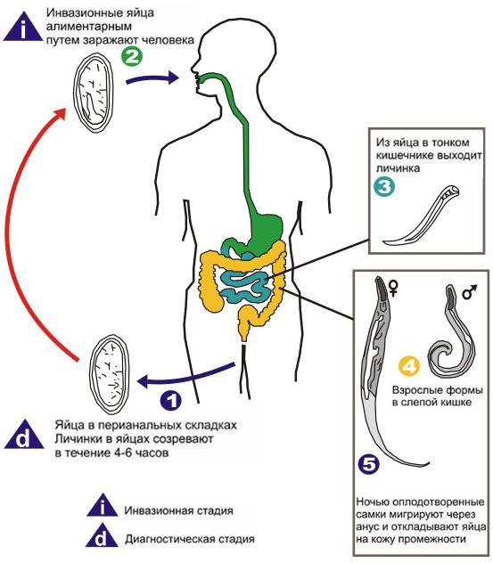 enterocioză ovocist și protozoare)