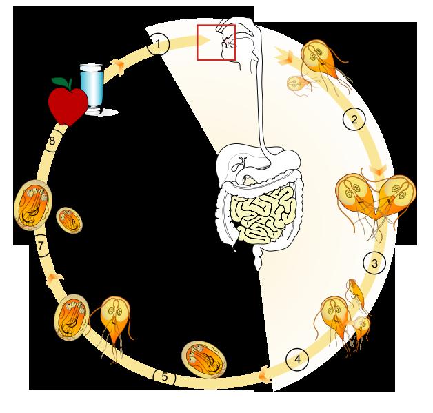 Жизненный цикл Lamblia intestinalis