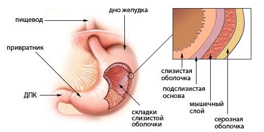 Картинки по запросу желудок