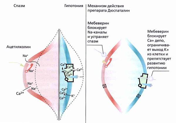Рис. 3. Механизм действия препарата Дюспаталин (мебеверин)