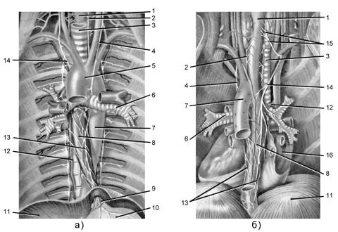 Рис. 1. Топография пищевода, его сосуды и нервы: а) вид спереди, б) вид сзади