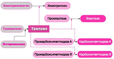 Схема активации проферментов трипсина, химотрипсина, эластазы, карбоксипептидазы