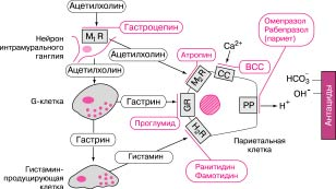 Регуляция секреции соляной кислоты и место приложения действия блокаторов секреции и антацидов